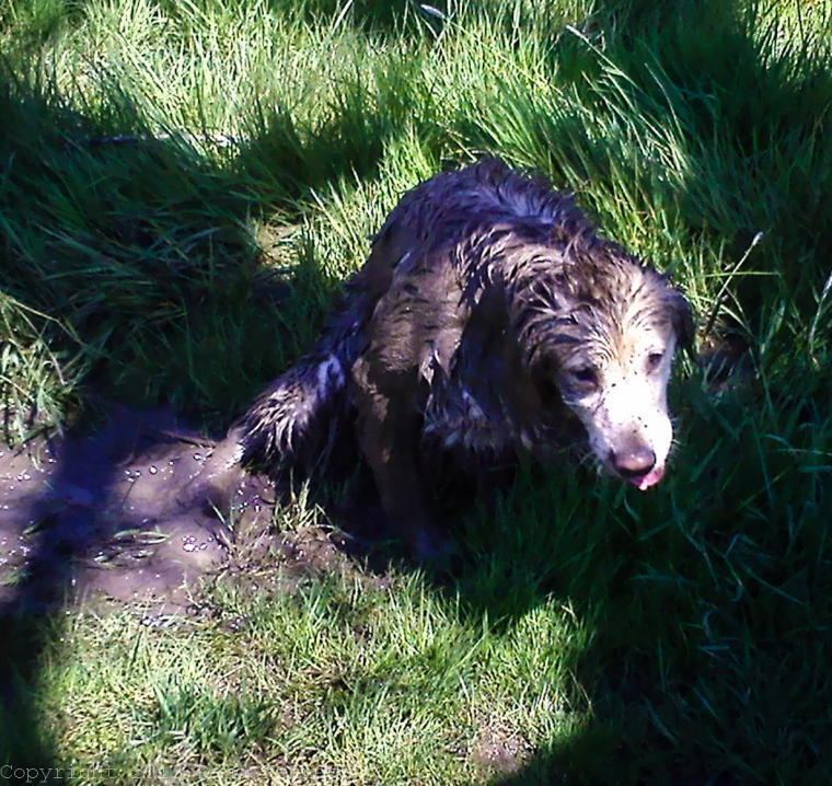 Raud Kennedy - Goldens have a thing for mud too 2