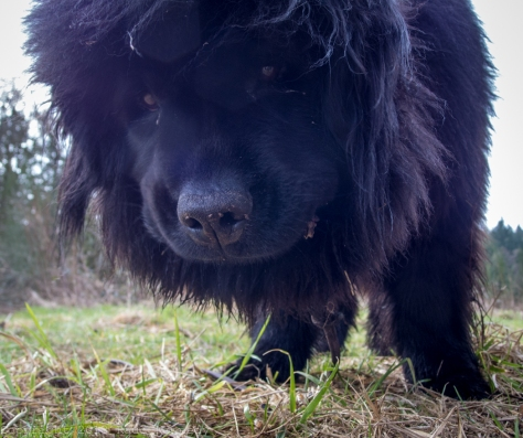 A Newfoundland must be a hurricane to an ant, especially if you're on the stick the Newfie is eying.