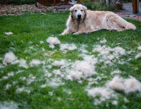 Sadie after a good brushing while blowing her coat.