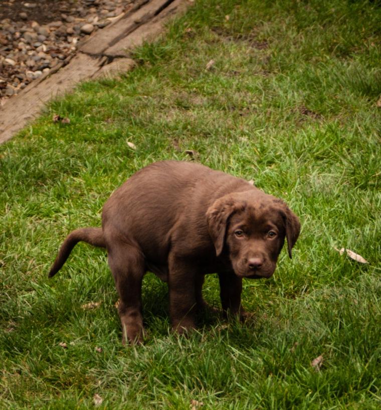 Fleegle puppy